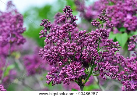 Lilac blooming in May. Lilac.