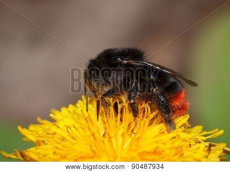 Pollinating Bumblebee