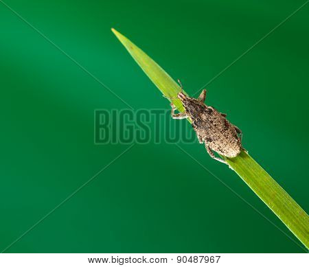 Beetle On Grass Top