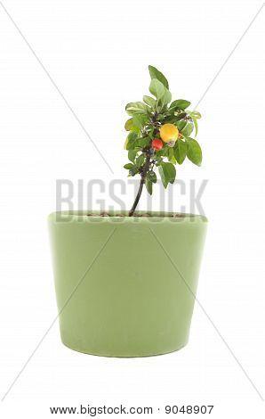 Decorative Pepper in Pot