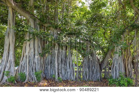Historical Banyan Tree in Honolulu.