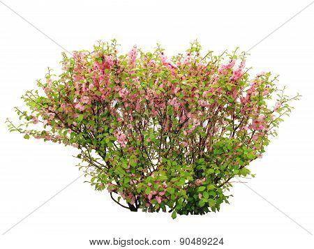 Ornamental plant Louiseania