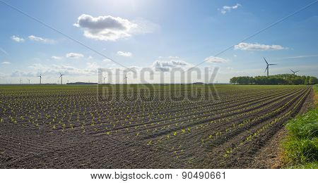 Vegetables growing on a sunny field in spring