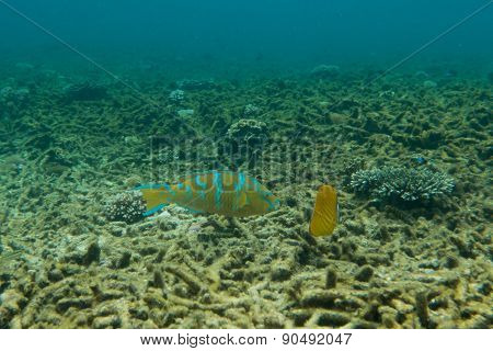 Parrot fish and butterfly fish