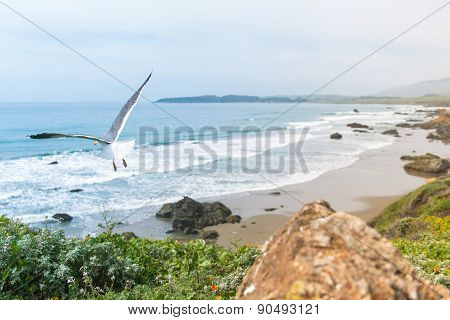 Coastal California Sea Gull