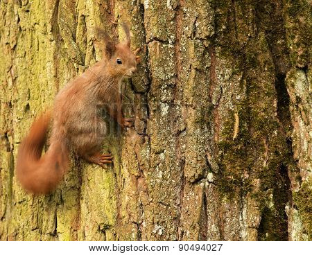 European Squirrel On A Tree Trunk (sciurus)