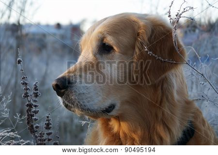 Golden Retriever looks to the side, his head turned in profile, first frost, autumn Sunrise