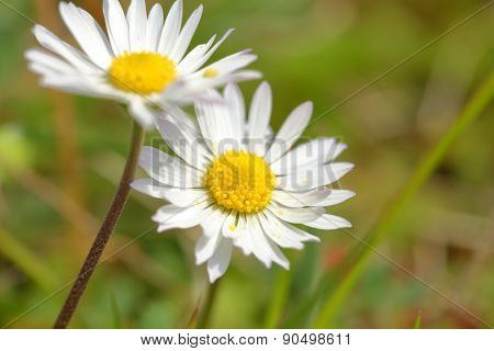 White daisy field closeup shot