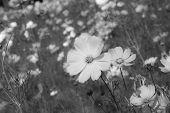 pic of cosmos flowers  - beautiful cosmos flowers in garden of Thailnd - JPG