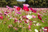 foto of cosmos  - beautiful cosmos flowers in garden of Thailnd - JPG