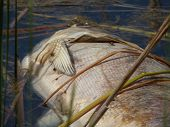 foto of corpses  - Dead fish corpse lying in water of lake - JPG
