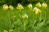 picture of cowslip  - Group of shiny blossom cowslip flowers in green grass - JPG