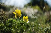 stock photo of adonis  - Shiny back lighted blossom pheasants eye flowers at springtime - JPG