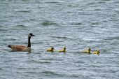 picture of mother goose  - A goose family floating on the water - JPG
