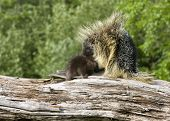 picture of snuggle  - Porcupine baby and mother snuggling on top of a log - JPG