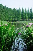 picture of purple iris  - An aquatic flowering purple water iris at Houtan Park in Shanghai China on a sunny morning - JPG