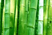 picture of bamboo forest  - Big Green Bamboo grove bathed forest background - JPG