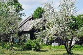 picture of farm-house  - view of Flowering tree with farm house - JPG