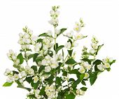 pic of jasmine  - Blooming jasmine branch with flowers isolated on white background - JPG