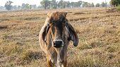 picture of cattle breeding  - American Brahman Cow Cattle a Closeup Portrait - JPG