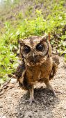 image of pecker  - Close up Owl portrait front in park nature - JPG