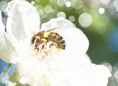 foto of pollen  - Bee on white flowers collecting pollen - JPG