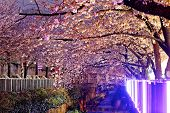 foto of night-blooming  - cherry blossoms at night - JPG