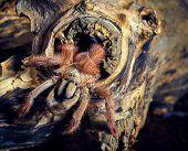 tarantula Tapinauchenius gigas poster