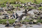 pic of wildebeest  - Vultures and Marabu - JPG