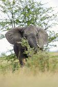 picture of feeding  - Elephant feeding from Acacia tree on savanna - JPG