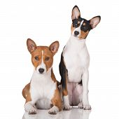 image of puppies mother dog  - two basenji breed dogs on white background - JPG