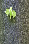 pic of linden-tree  - Detailed view of the growing linden leaves on a tree trunk - JPG