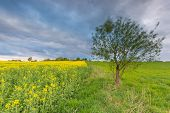 stock photo of cloudy  - Blooming rapeseed field under cloudy sky - JPG