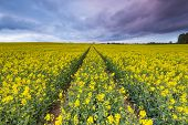 picture of cloudy  - Blooming rapeseed field under cloudy sky - JPG