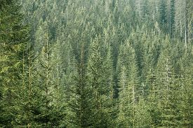 stock photo of ecosystem  - Healthy green coniferous forest with old spruce fir and pine trees in wilderness area of a national park - JPG