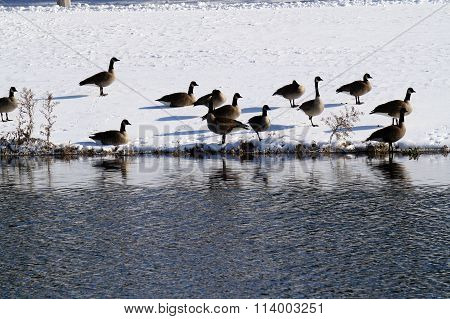 Resting Geese