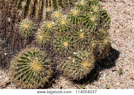 Cluster of Small Golden Barrel Cactus