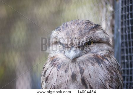 Tawny Frogmouth - Upper Body And Head