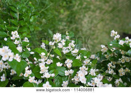 Spring Flowers White Jasmine