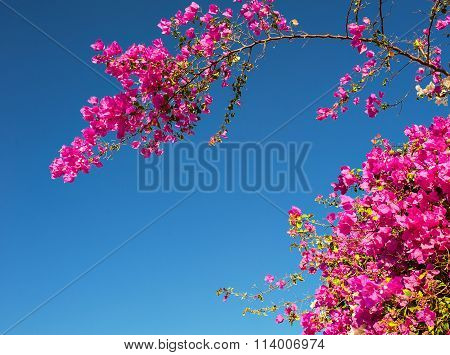 Pink Bougainvillea Flowers Against The Sky
