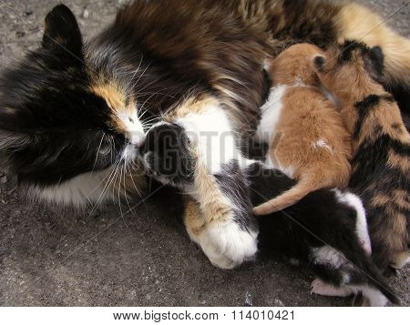 Mother Cat With Kittens.