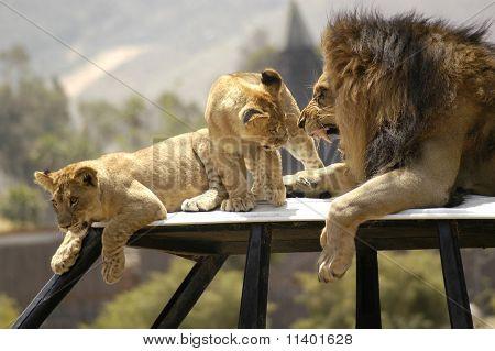 Lion Scolding Cubs