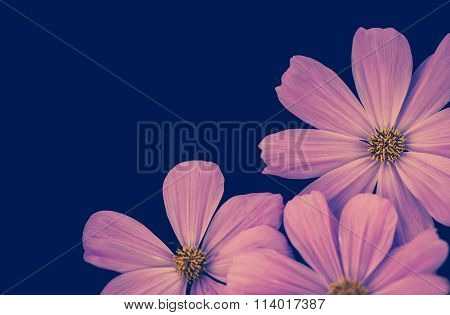 Beautiful Pink Cosmos Flower On Blue Background