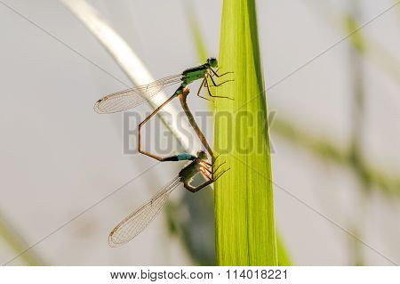 Blue-tailed Damselfly (Ischnura elegans) dragonfly mating on a grass.