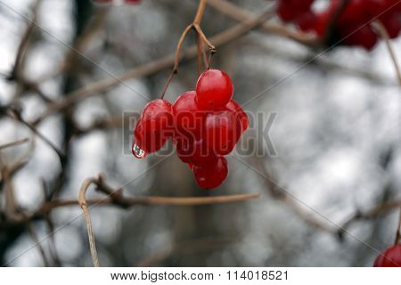 Cluster of Highbush Cranberries