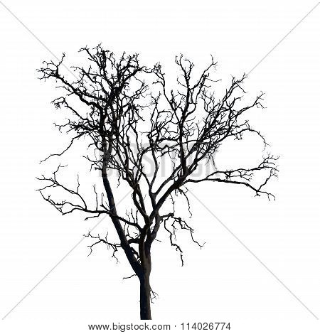 Barren Tree Isolate On White Background