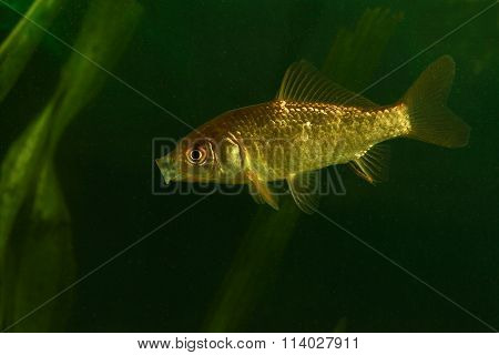 Golden  Fish, Prussian Carp
