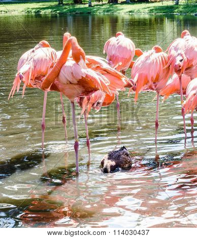 The Pink Flamingo Birds And The White Ibis On The Lake In The Park