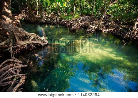 Transparent Water Reflects Mangrove Trees Roots Under Sunlight