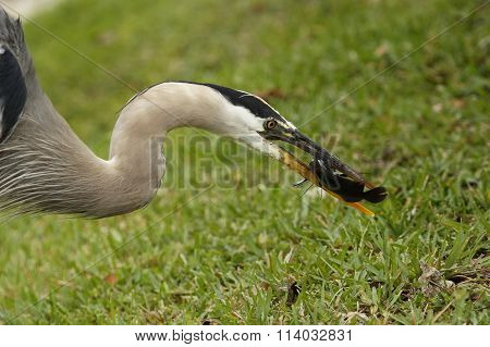 Portrait Of Great Blue Heron Eating Fish